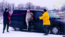 Wife and I unloading a llama from our mini-van