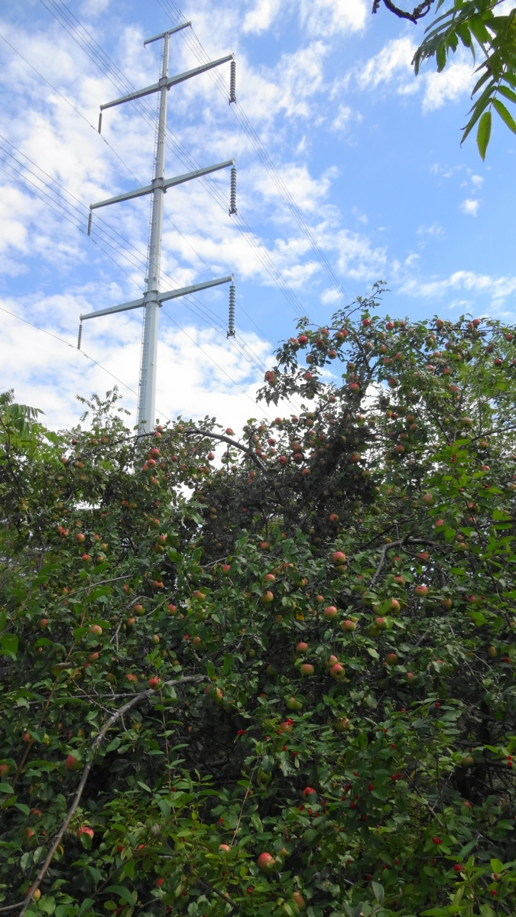 Ripening apples under the hydro tower. Photo by Alan Viau