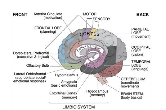 Anatomy of the brain from Brainwaves.com